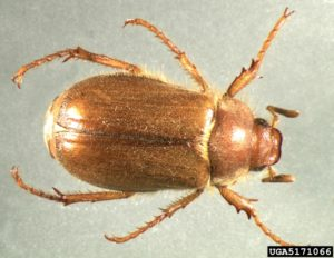 adult european chafer beetle