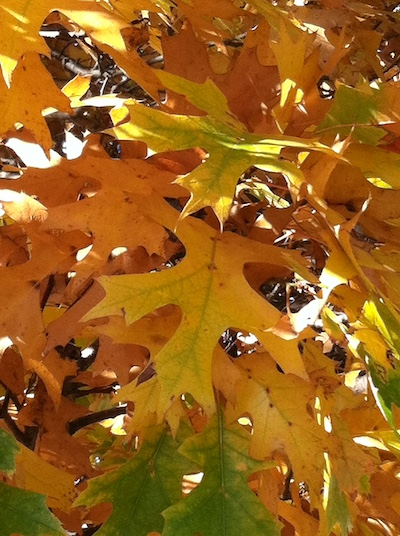 oak leaves in October