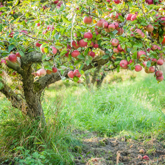 apple tree for history web page (2)