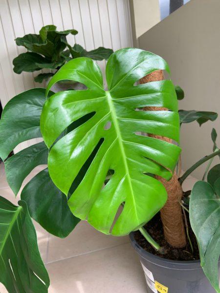 new monstera leaf