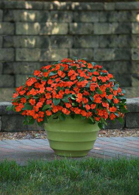 orange impatiens in green pot