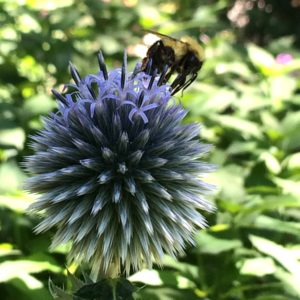 bee on blue globe thistle flower