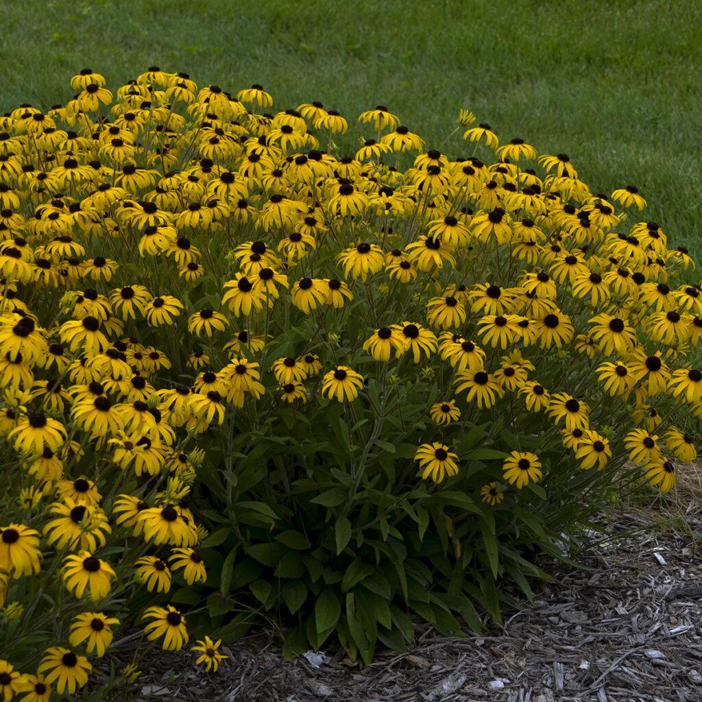 American Gold Rush rudbeckia