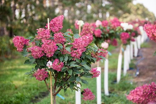 Hydrangea Vanilla Strawberry in tree form
