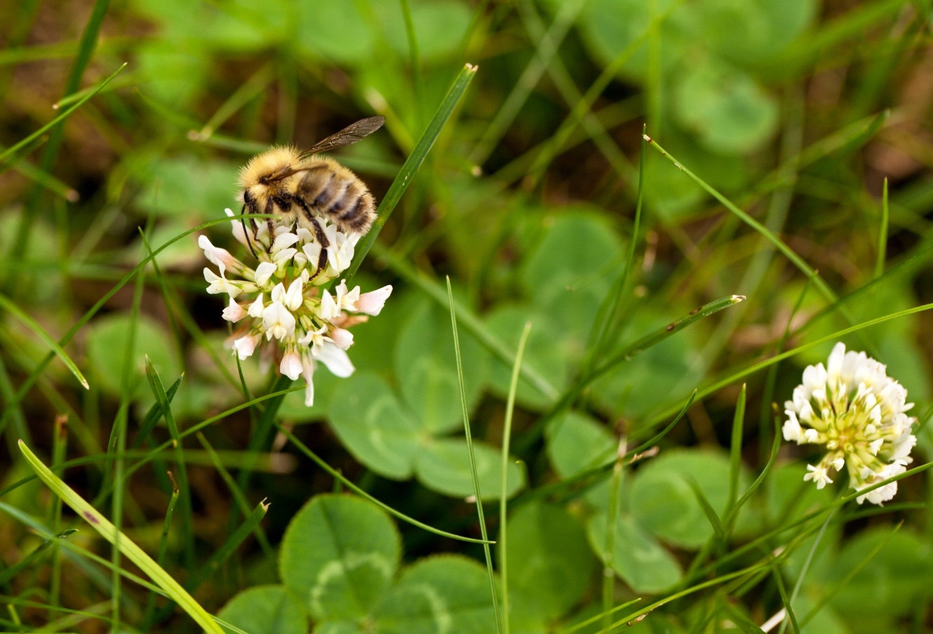 bee on clover in bee lawn