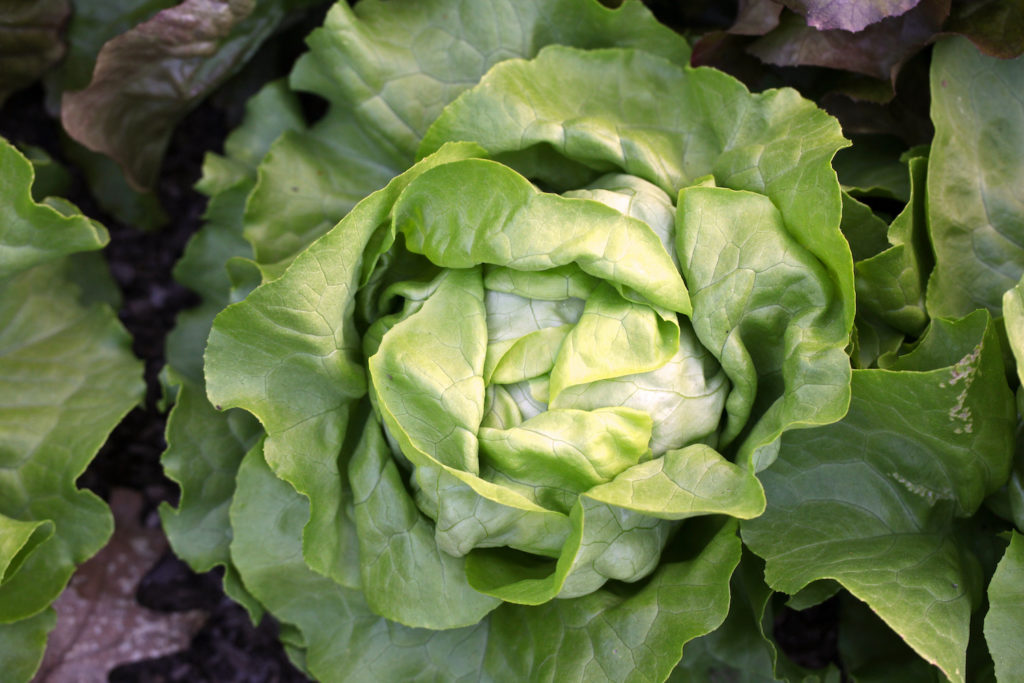 photo of butterhead lettuce