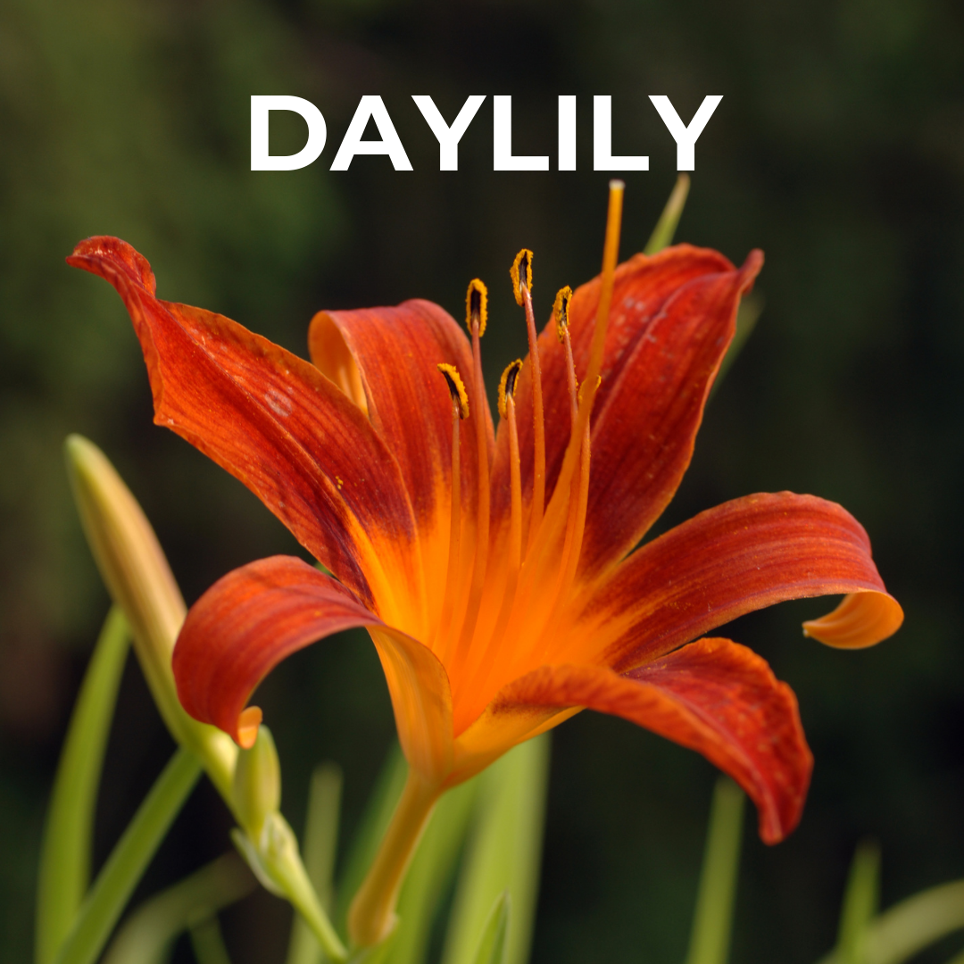 daylily for bulb shop