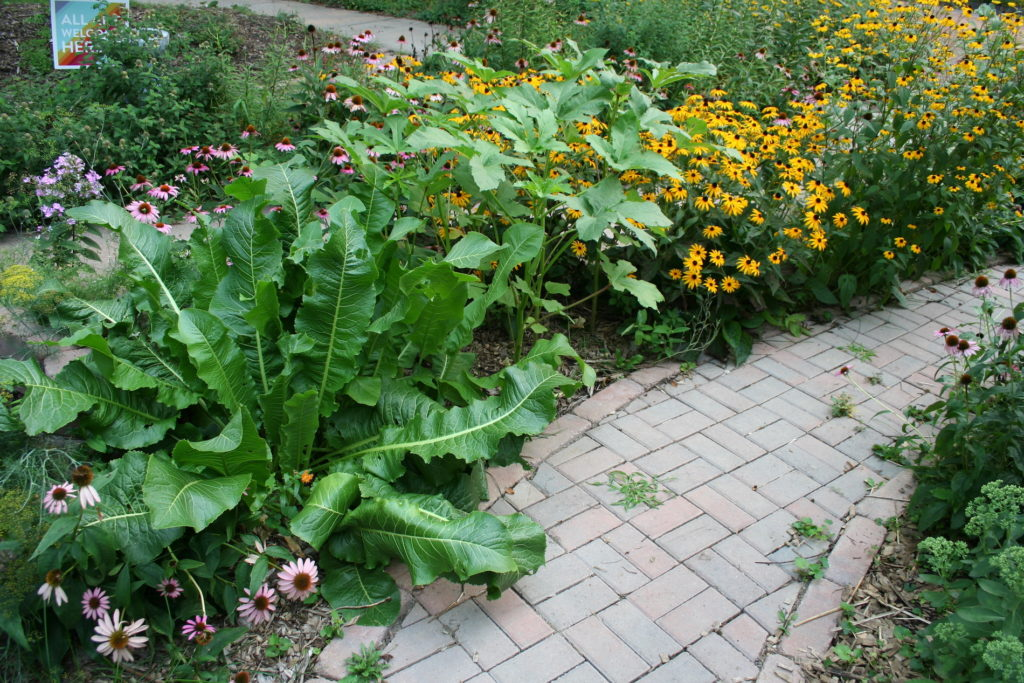 grow horseradish at the edge of a path