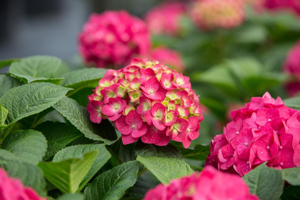 Summer Crush hydrangea with raspberry blooms