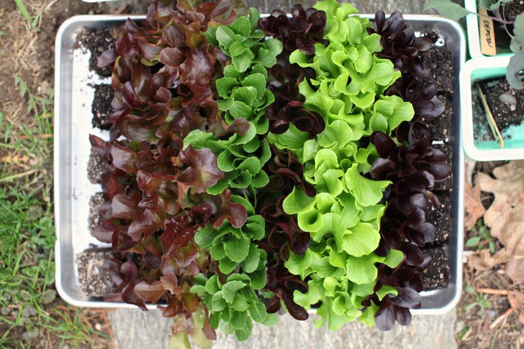 lettuce seedlings for garden