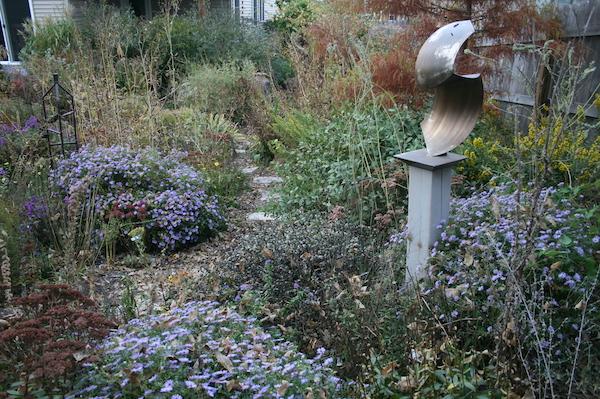 asters in bloom in lovely home garden