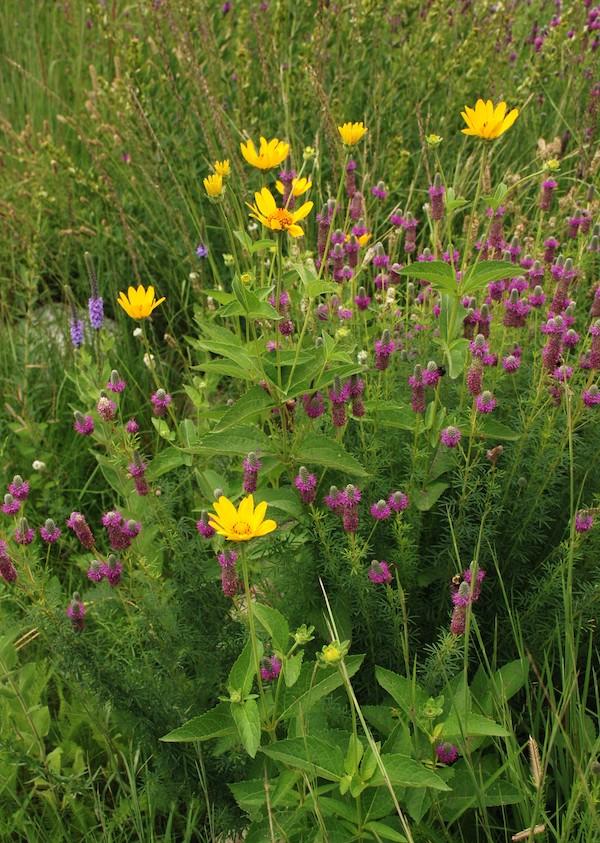 purple prairie clover planted near yellow sunflowers