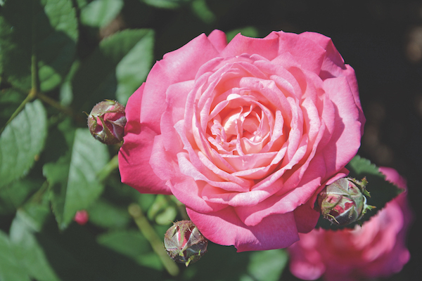 one of the hardy roses: Peppermint Pop pink rose