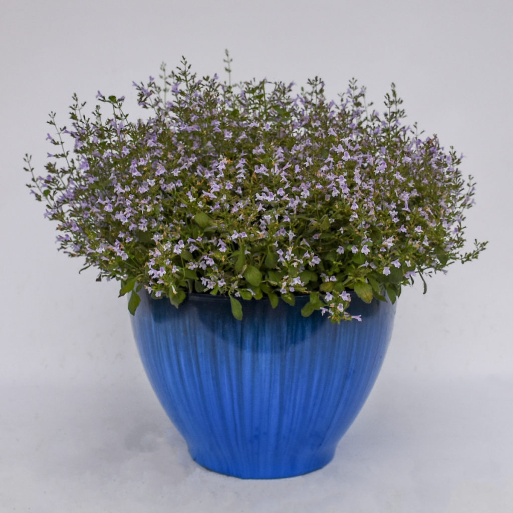 flowering perennial in blue container