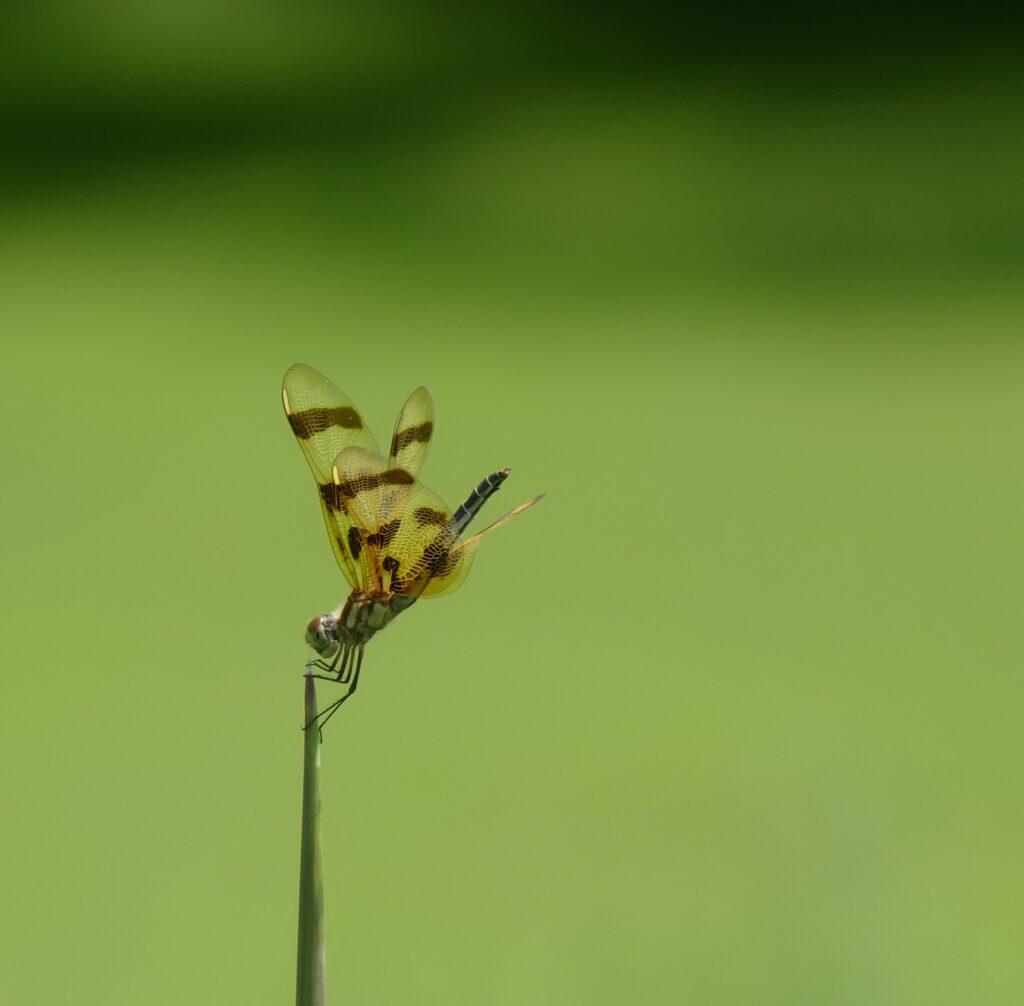 dragonfly on a leaf stalk