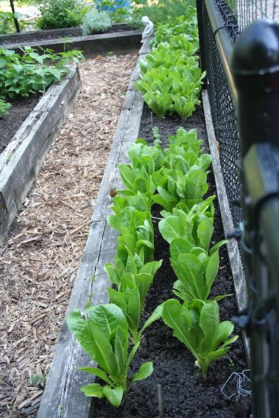 lettuce for fall harvest