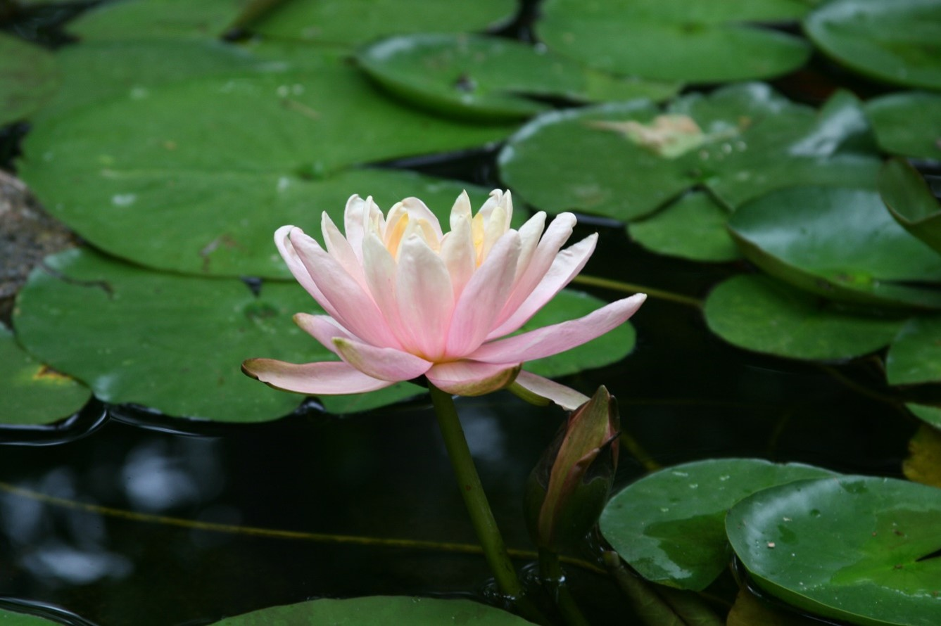 A single pale pink waterlily sits between overlapping ivy green lilypads