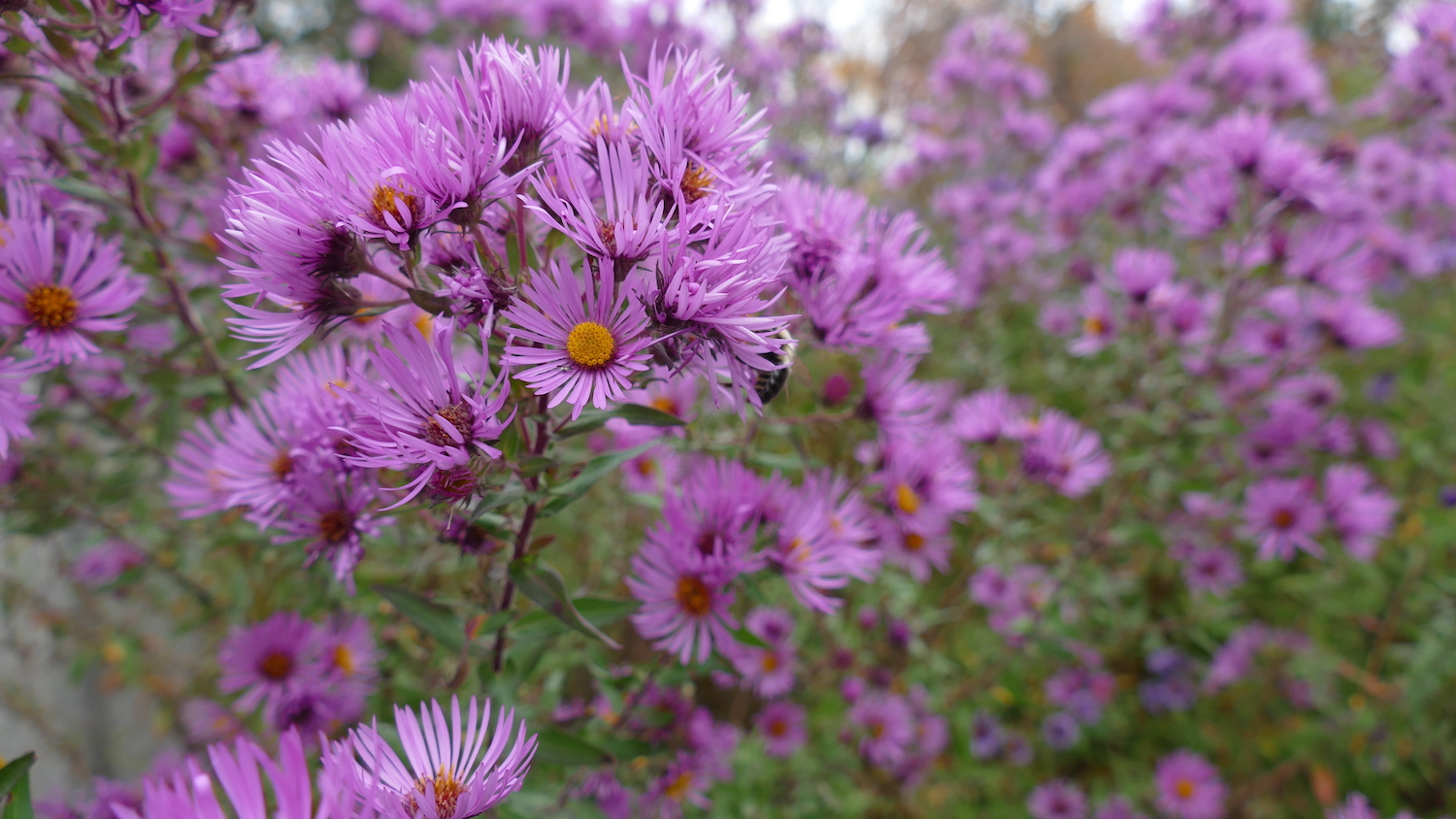 asters support pollinators in fall