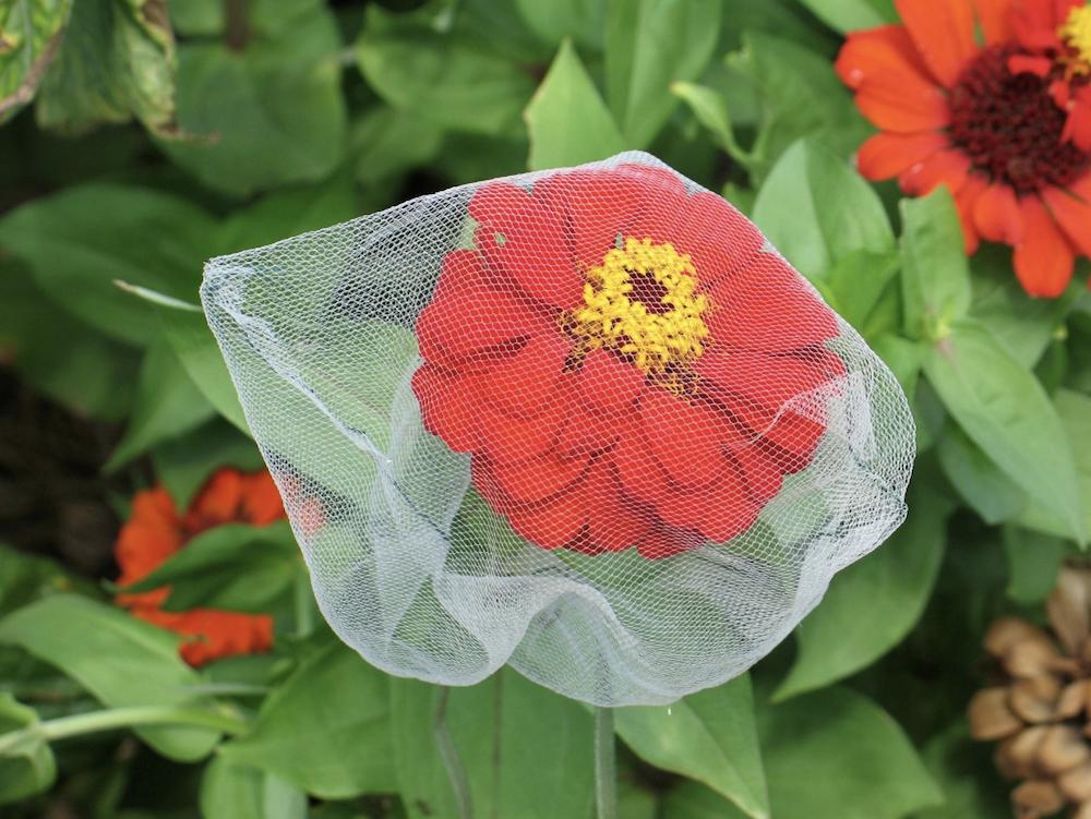 orange zinnia flower in seed bag for saving