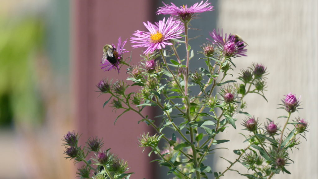pink aster bloom with bee