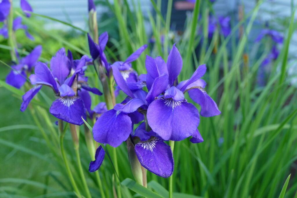 Iris bloom purple