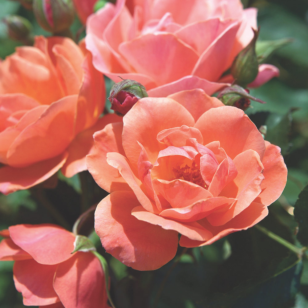 Coral_KnockOut_Blooms_0031