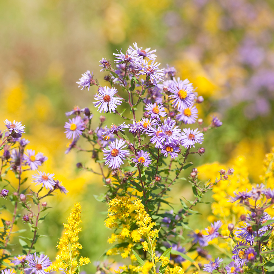 Goldenrod and Asters