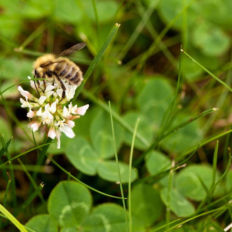 bee-on-bee-lawn-canva-image