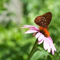 butterfly-on-ray-flower-300x200