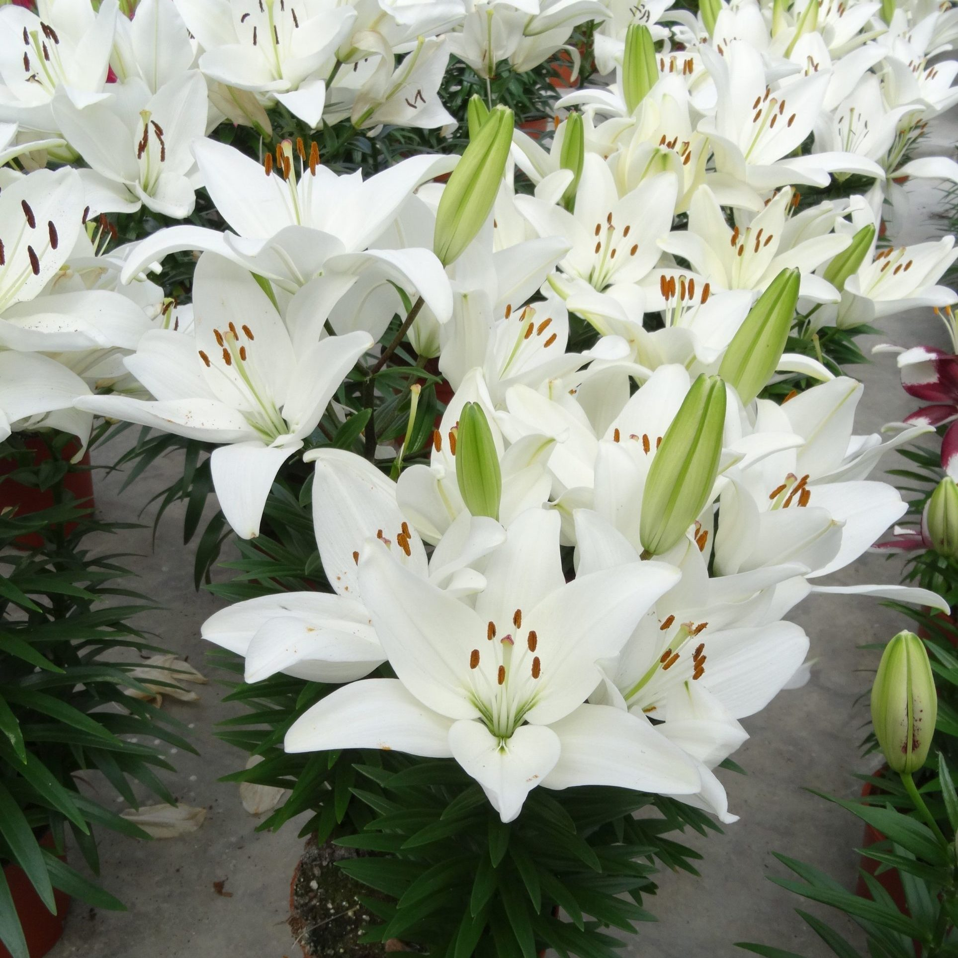 lily-Lilium-Lily-Looks-Tiny-Crystal